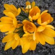 Yellow crocuses in a garden close up. — Stock Photo #66226067