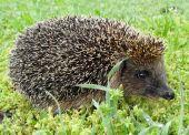 Hedgehog European on a green grass close up. — Stock Photo
