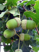 Acorns on a branch close up. — Stock Photo