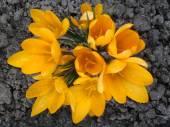 Yellow crocuses in a garden close up. — Stock Photo