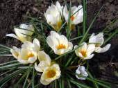 White crocuses in a garden close up. — Stock Photo