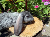 Gray lop-eared rabbit in a flower bed close up. — Stock Photo