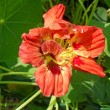 Flower of an orange nasturtium close up. — Stock Photo #66309211