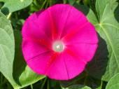 Flower of crimson Ipomea close up. — Stock Photo