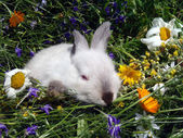 Little white rabbit in wild flowers close up. — Stock Photo