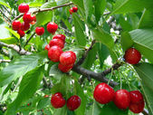 Ripe sweet cherry on a tree close up. — Stok fotoğraf