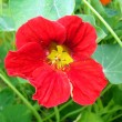 Flower of a red nasturtium in a garden close up. — Stock Photo #66310581