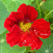 Flower of a red nasturtium in a garden close up. — Stock Photo #66310635