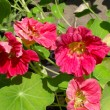 Flowers of a cherry nasturtium in a garden close up. — Stock Photo #66633643