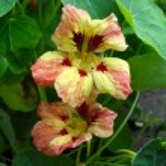 Flowers of a yellow nasturtium close up. — Stock Photo #66722145