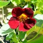 Flower of a cherry nasturtium in a garden close up. — Stock Photo #66756791