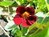 Květ třešně Řeřicha v zahradě blízko se. — Stock fotografie