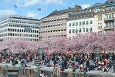 Cherry blossom in Kungstradgarden. — Stock Photo