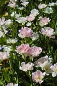 White-pink tulips — Stock Photo