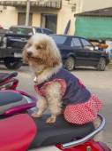 Small dog sits on moped — Stockfoto