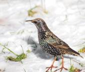 Bird Starling, Sturnus vulgaris — Stock Photo