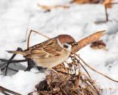 Tree Sparrow in winter time, Passer montanus — Stockfoto
