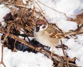 Tree Sparrow in winter time, Passer montanus — Stock Photo