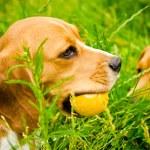 Two beagle — Stock Photo #54591975