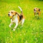 Two beagle — Stock Photo #54591977