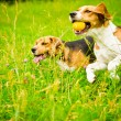 Two beagle — Stock Photo #54591981