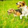 Two beagle — Stock Photo #54591981