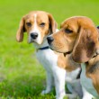 Beagle dogs — Stock Photo #56316121