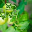Tomato growth — Stock Photo #58063145