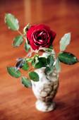 Wilted rose — Stock Photo