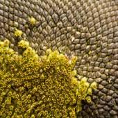 Closeup of a sunflower — Stock Photo