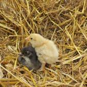 Cute chicks — Stock Photo