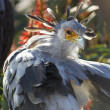 A secretary bird portrait with beatiful plumage — Stock fotografie #66105427