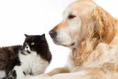 Persian Cat With Golden Retriever Dog — Stock Photo