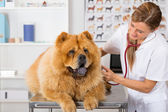 By listening to a dog Veterinary Chow Chow — Stock Photo