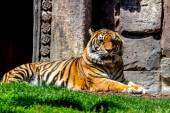 Large Bengal Tiger — Stock Photo