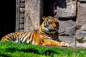 Bengal tiger posing — Stock Photo
