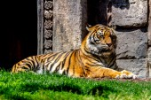 Bengal tiger posing placidly — Stock Photo