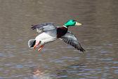 Male Mallard in flight — Stock Photo
