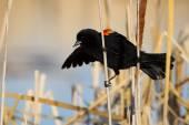 Male Red-winged Blackbird — Stock Photo
