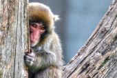 Macaque (Snow) Monkey's in High Dynamic Range hdr — Stock Photo