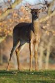 White Tailed Deer in the Wild — Stock Photo