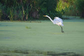Great White Egret in flight — Stock Photo