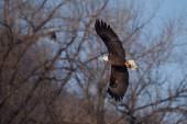 飛行中のアメリカの白頭鷲 — ストック写真