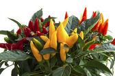 Mixed pepper plants — 图库照片