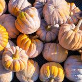 Cucurbita moschata — Stock Photo