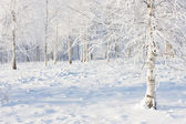 Birch forest in snow and frost — Stock Photo