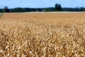 Golden Field sown cereal crop with the sky and the forest — Stock Photo