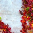 Colorful wild vines on the wall in autumn — Stock Photo #67809291