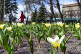 Tulips on the flowerbed in city park in the early spring — Stock Photo