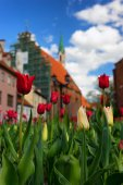 Red tulips in the center of the old city of Riga — Stock Photo